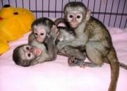 KFD Pairs Capuchin pygmy marmoset available 07031956739